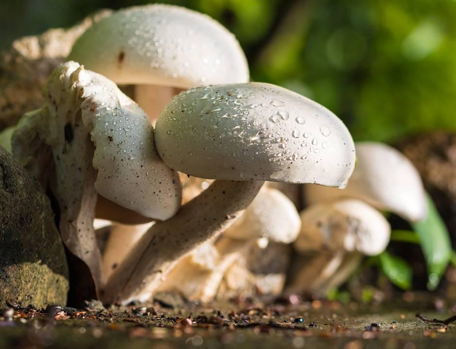 A grillezett gombák ásza