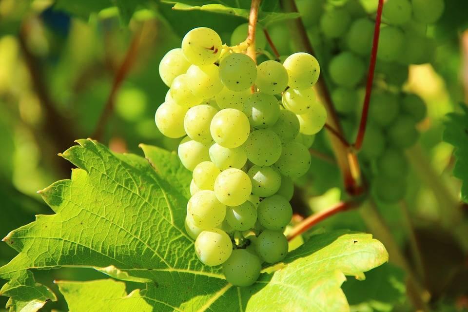 Grillezett szőlő mozzarellával